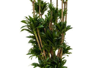 Dracaena-compacta-Kleinblaettriger-Drachenbaum