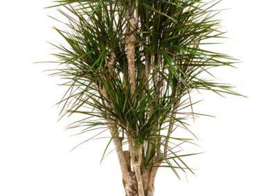 Dracaena-marginata-Drachenbaum