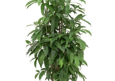 Dracaena-surculosa-Drachenbaum