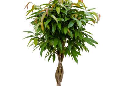 Ficus-Amstel-Stamm-Feigenbaum