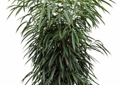 Ficus-alii-Schmalblättriger-Feigenbaum