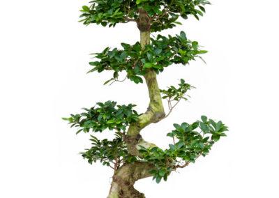 Ficus-microcarpa-S-type