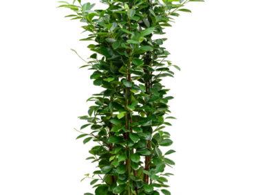 Ficus-moclame