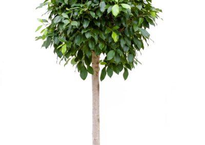 Ficus-nitida-Stamm