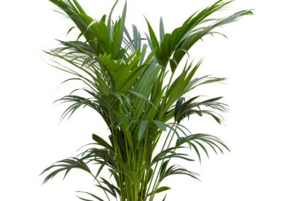 Kentia forsteriana (Howeiapalme)