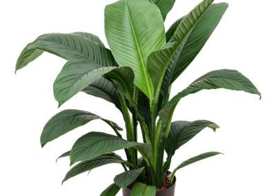 Spathiphyllum-Sensation-Großes-Einblatt