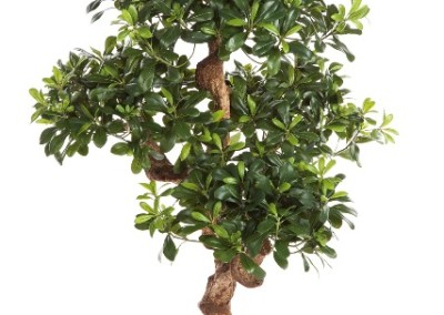 Kunst und Textilpflanzen Pittosporum Mountain Tree