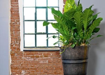 Gruen und Raum Pflanzgefaesse Polystone mit Anthurium Jungle King